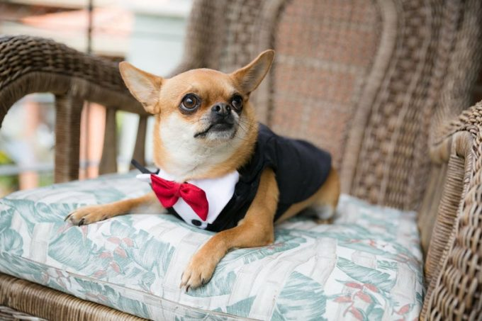 dog tuxedos for weddings