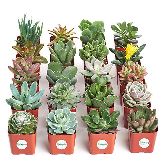 succulents in bulk