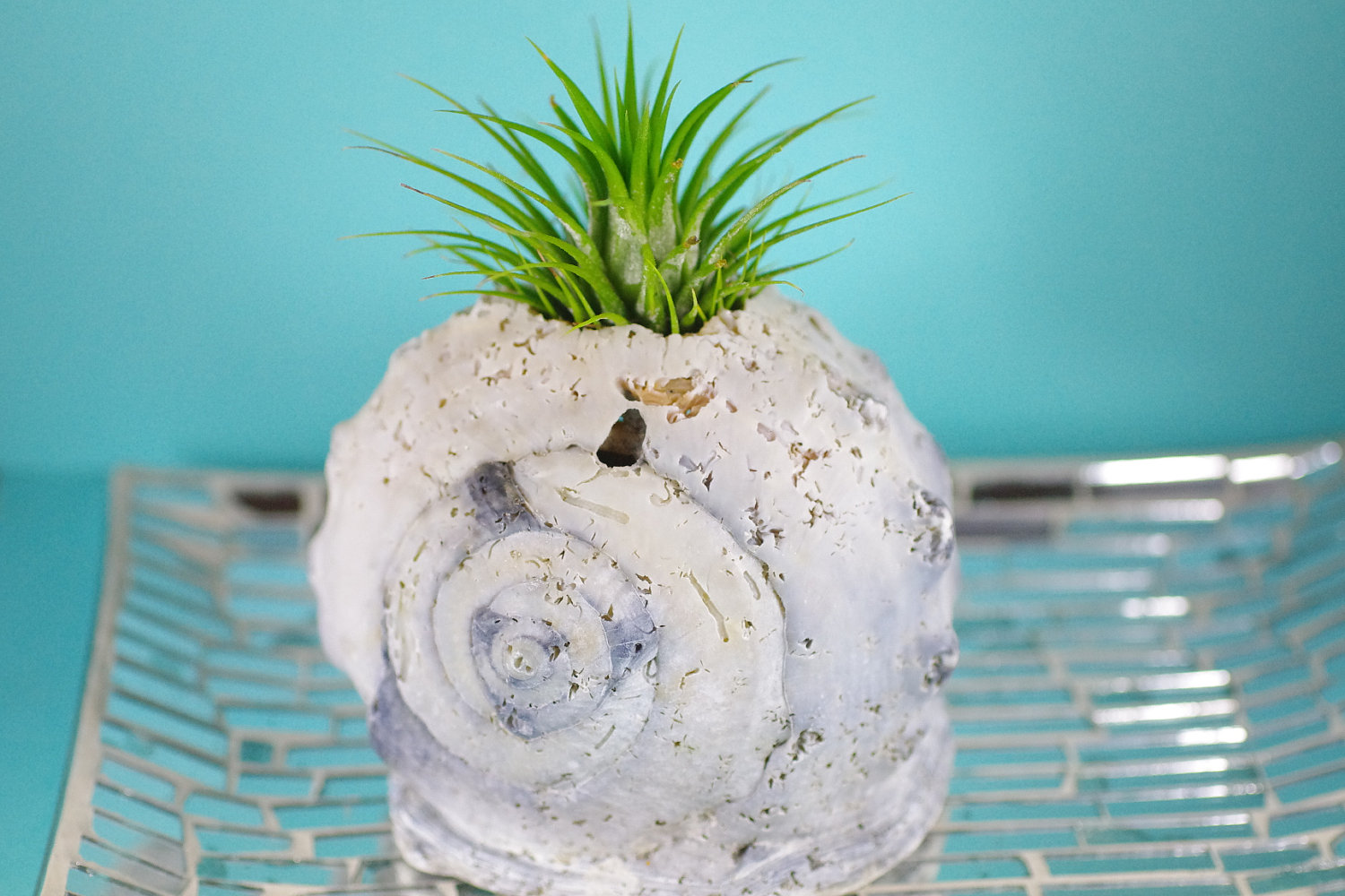 queen helmet shell with air plant